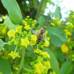 Μέλι Παλιούρι-Ασφάκα